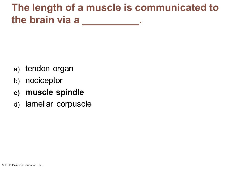 The length of a muscle is communicated to the brain via a __________.