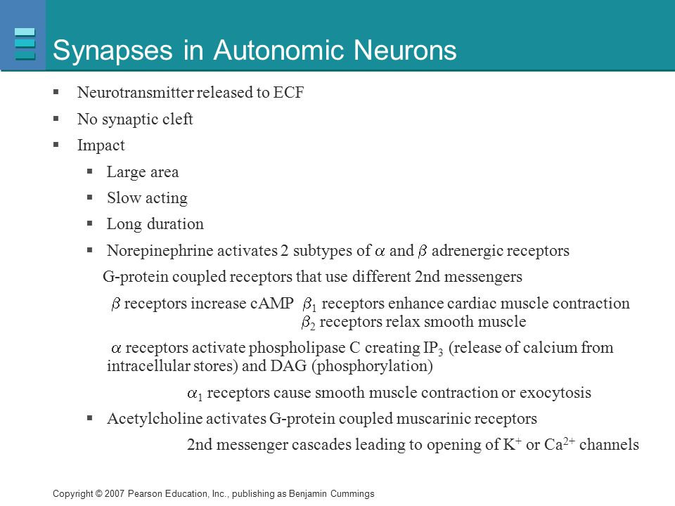 Synapses in Autonomic Neurons