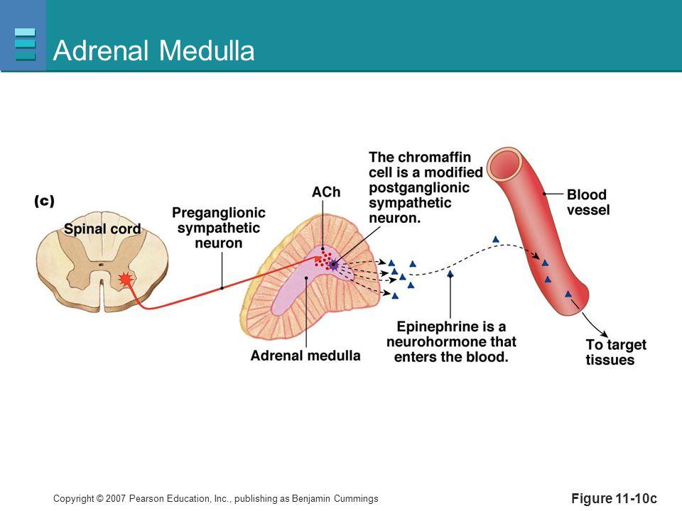 Adrenal Medulla Figure 11-10c
