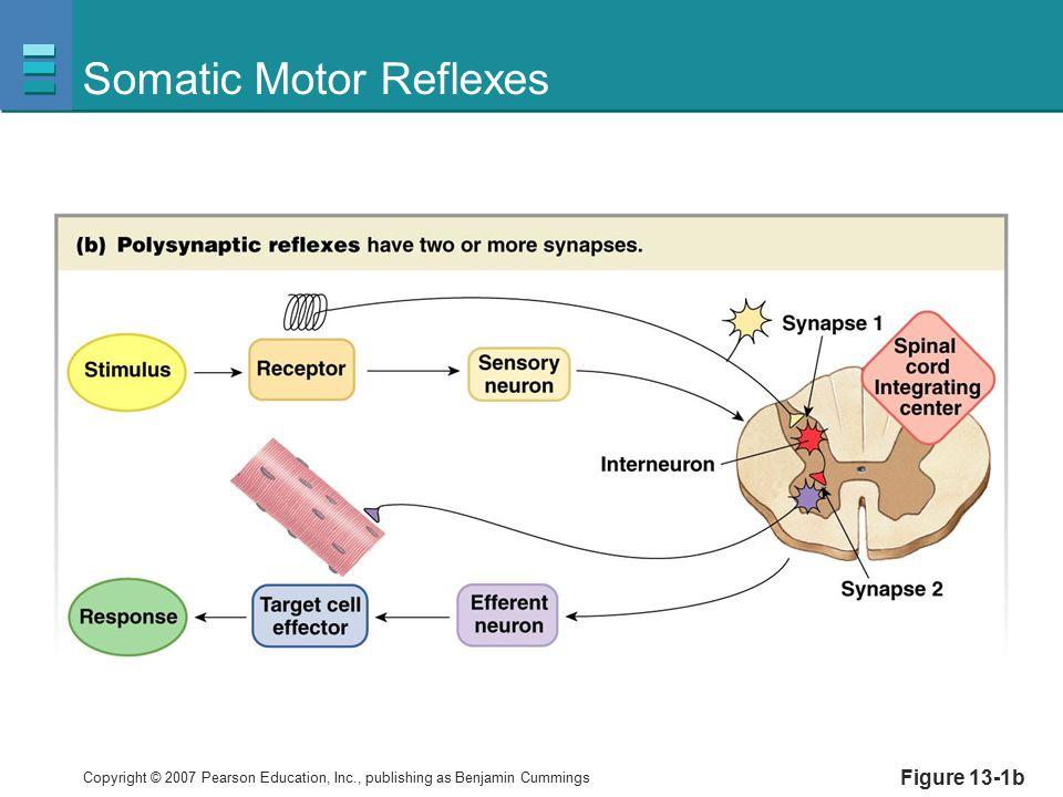 Somatic Motor Reflexes