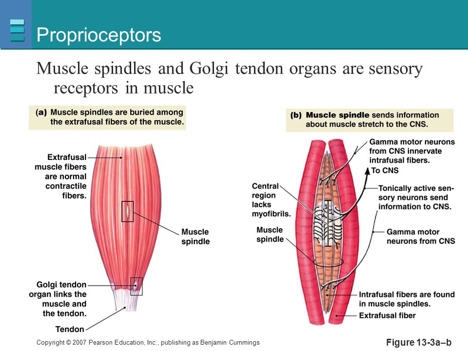 Proprioceptors Muscle spindles and Golgi tendon organs are sensory receptors in muscle.