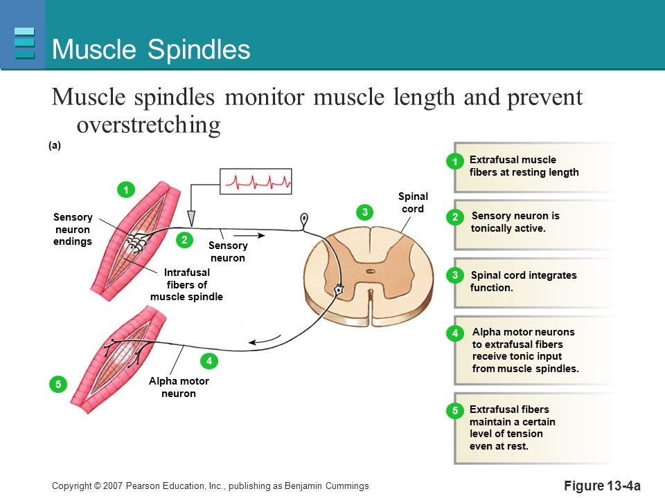 Muscle Spindles Muscle spindles monitor muscle length and prevent overstretching. Sensory. neuron.