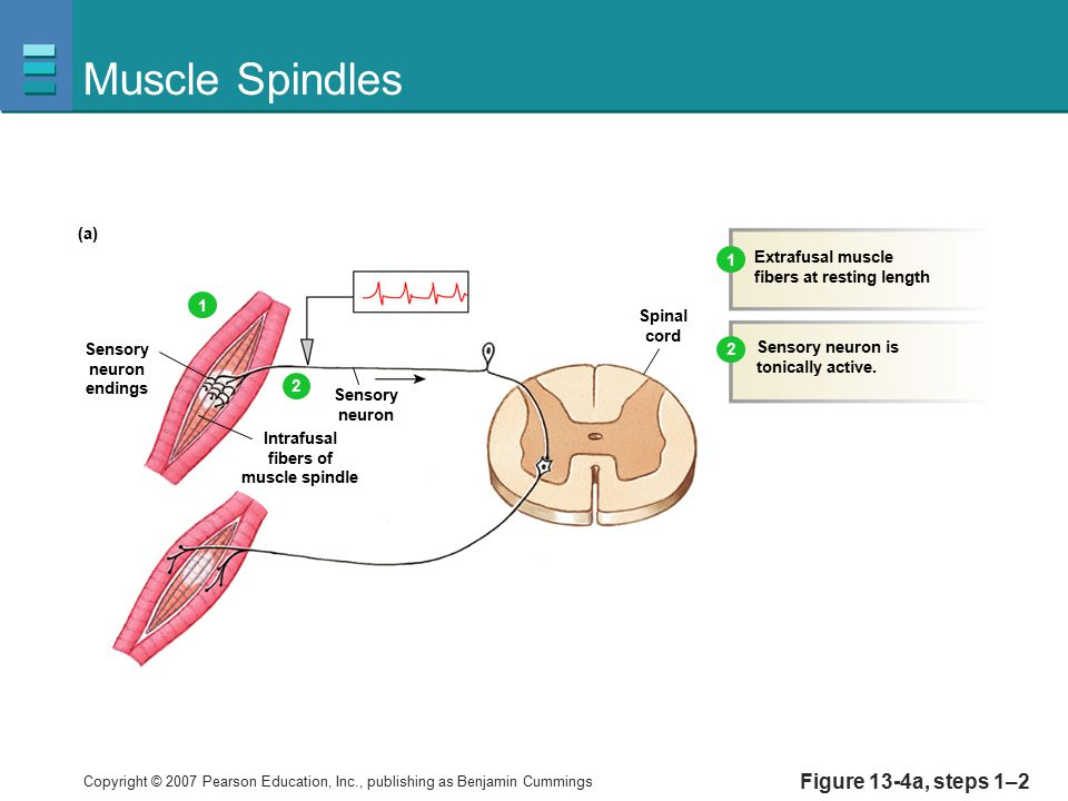 Muscle Spindles Figure 13-4a, steps 1–2 (a) Extrafusal muscle