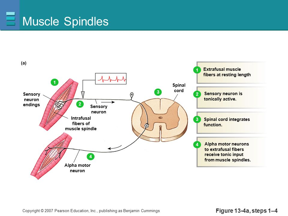 Muscle Spindles Figure 13-4a, steps 1–4 (a) Extrafusal muscle