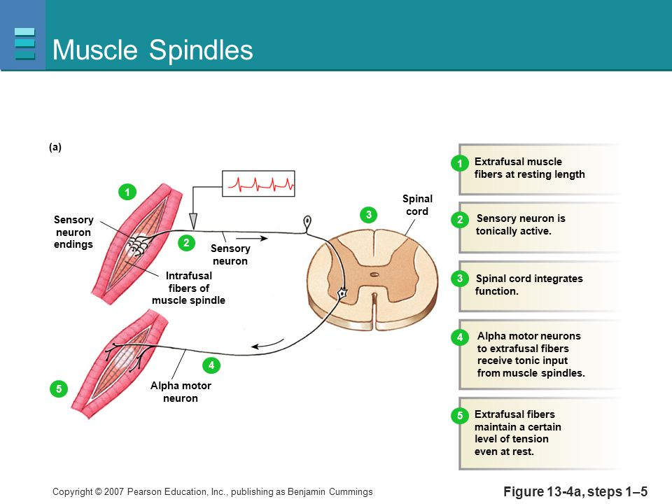 Muscle Spindles Figure 13-4a, steps 1–5 (a) Extrafusal muscle