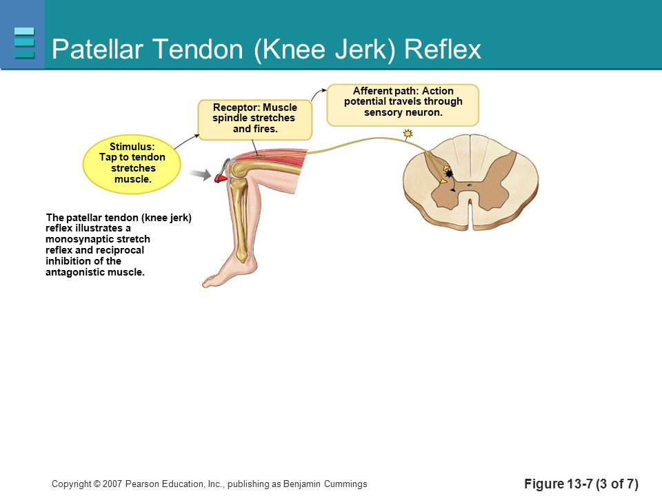 Patellar Tendon (Knee Jerk) Reflex