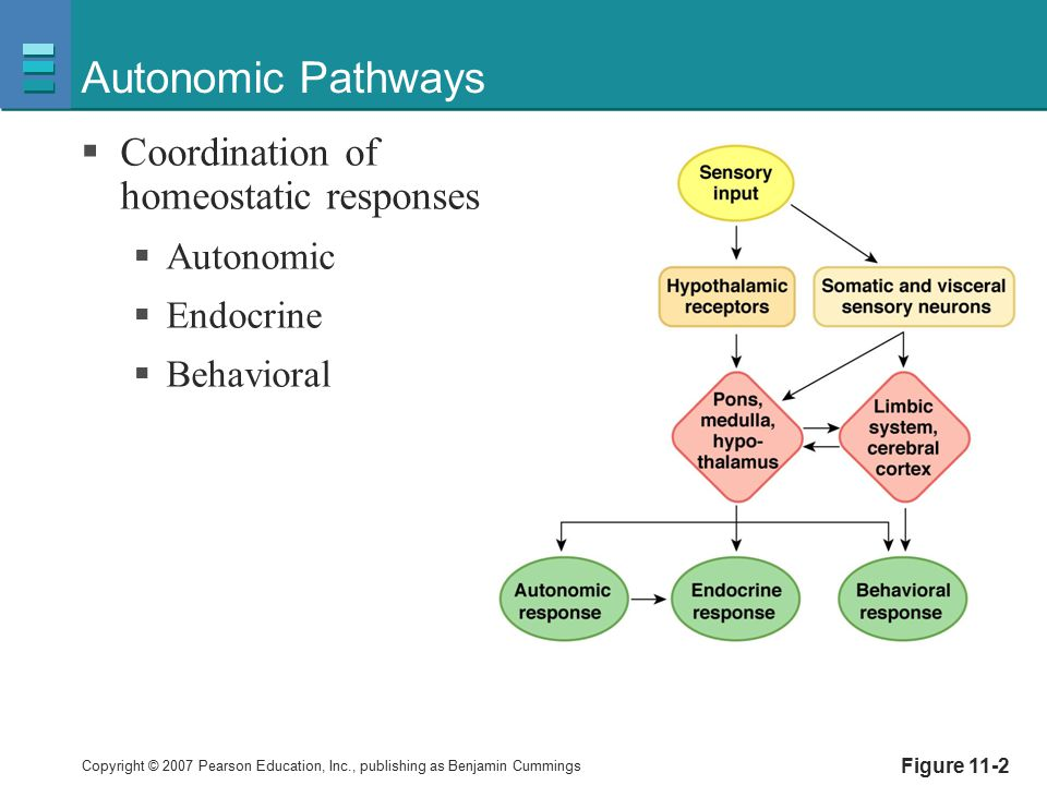 Autonomic Pathways Coordination of homeostatic responses Autonomic