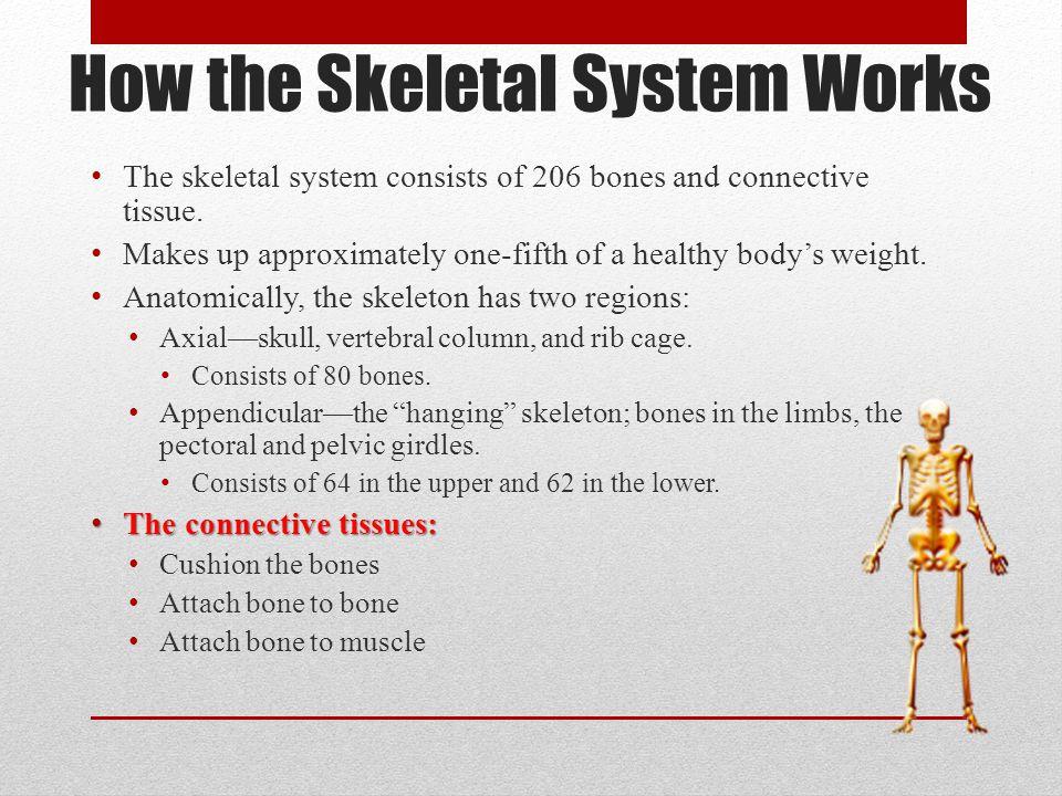 How the Skeletal System Works