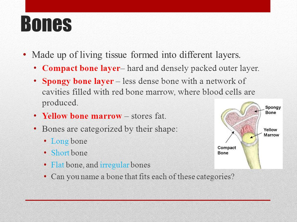 Bones Made up of living tissue formed into different layers.