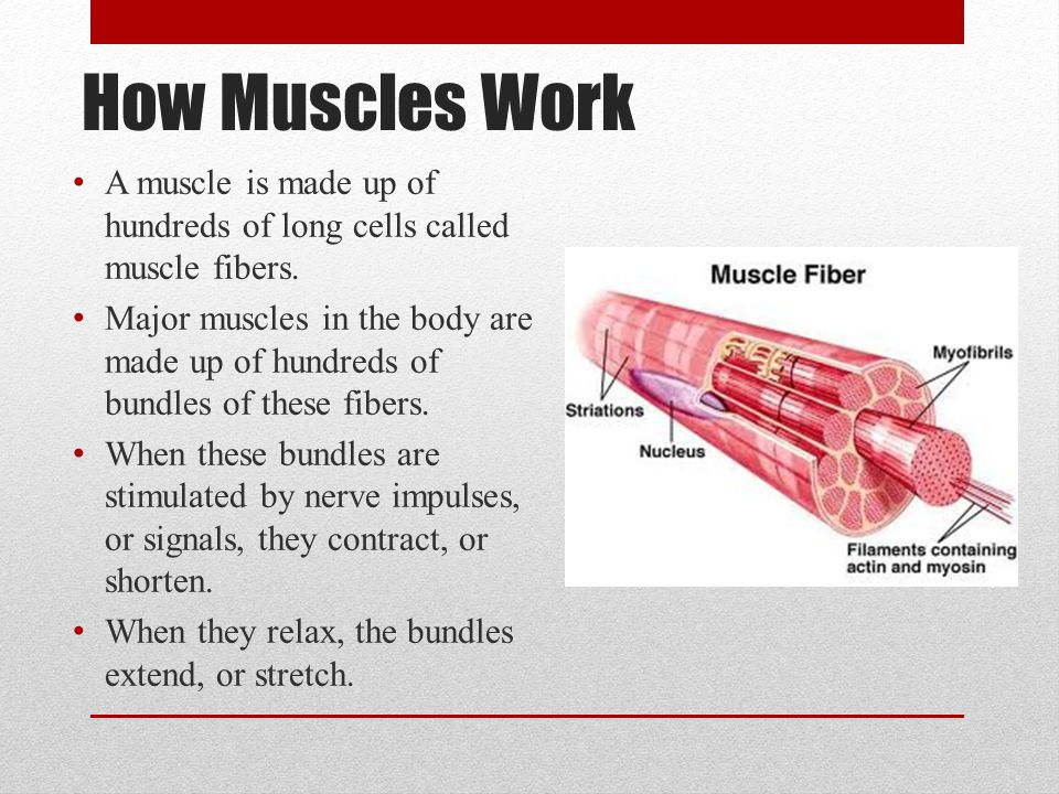How Muscles Work A muscle is made up of hundreds of long cells called muscle fibers.