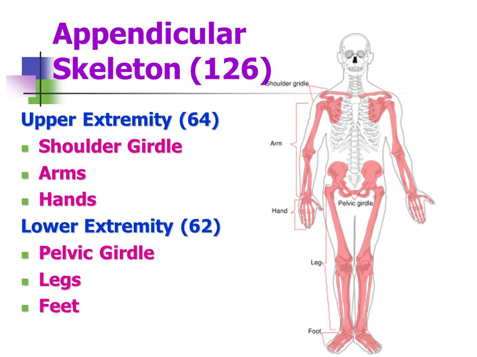Appendicular Skeleton (126)