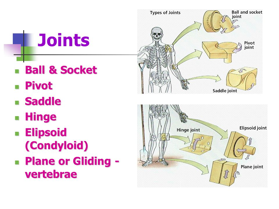 Joints Ball & Socket Pivot Saddle Hinge Elipsoid (Condyloid)