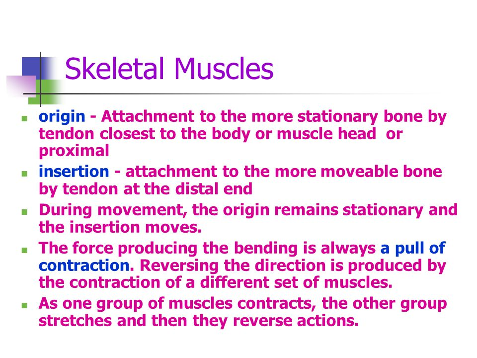 Skeletal Muscles origin - Attachment to the more stationary bone by tendon closest to the body or muscle head or proximal.