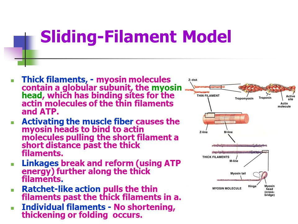 Sliding-Filament Model