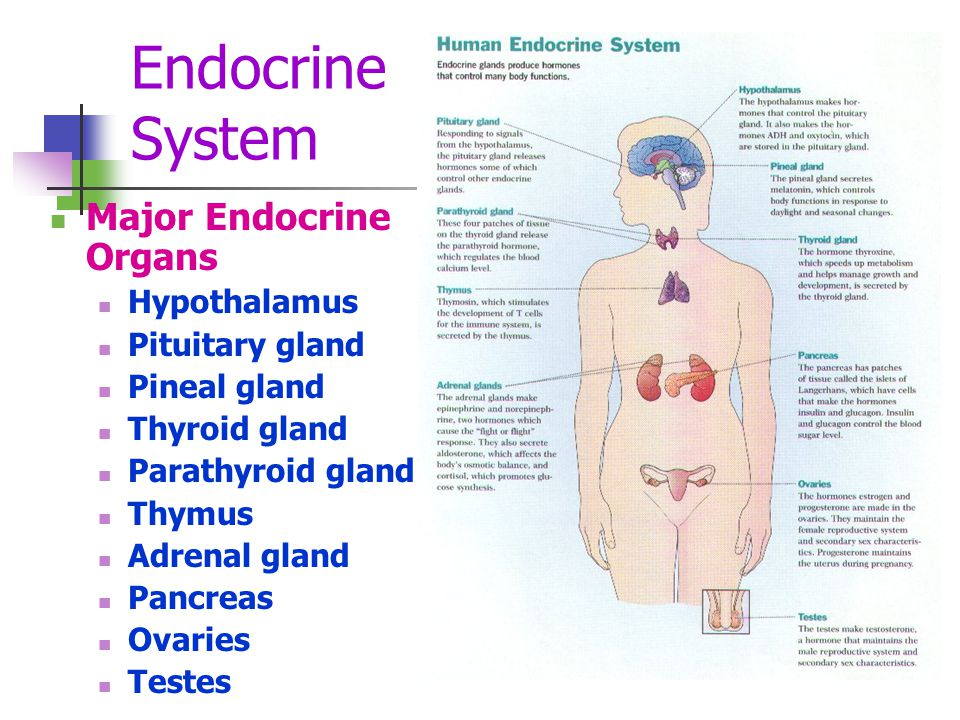 Endocrine System Major Endocrine Organs Hypothalamus Pituitary gland