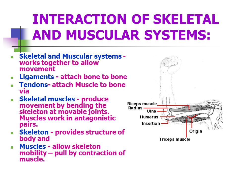 INTERACTION OF SKELETAL AND MUSCULAR SYSTEMS: