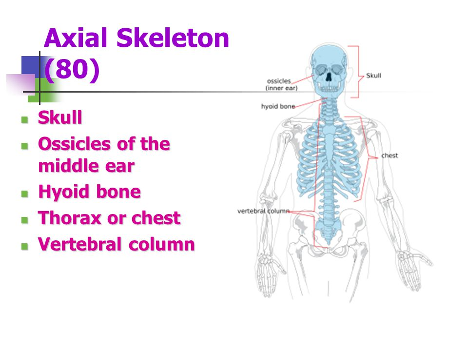 Axial Skeleton (80) Skull Ossicles of the middle ear Hyoid bone