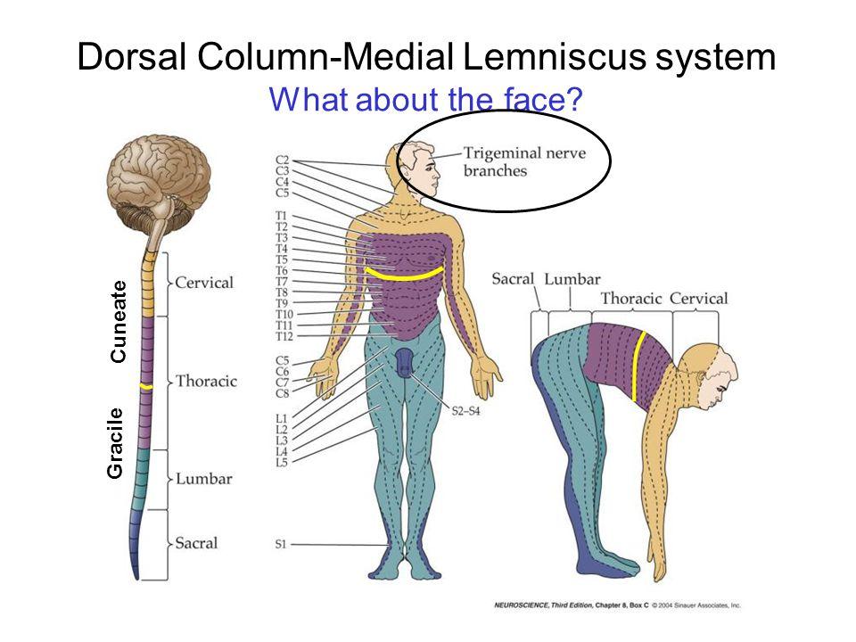 Dorsal Column-Medial Lemniscus system
