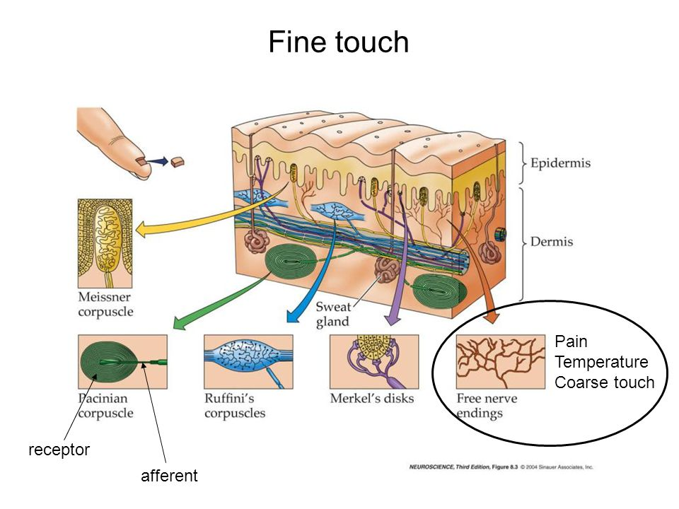 Fine touch Pain Temperature Coarse touch afferent receptor