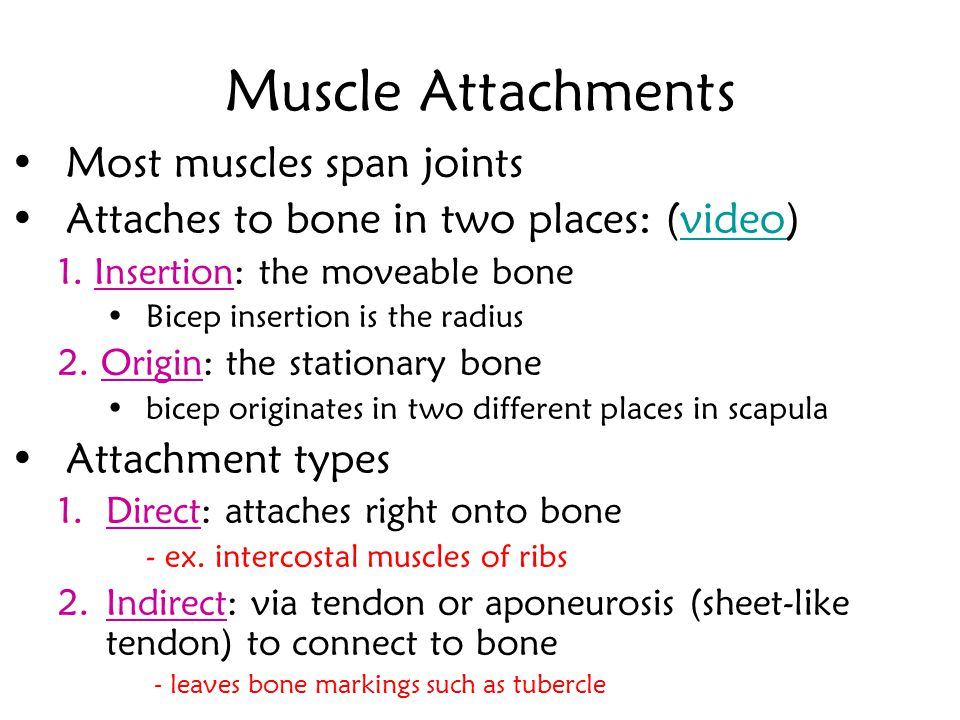 Muscle Attachments Most muscles span joints