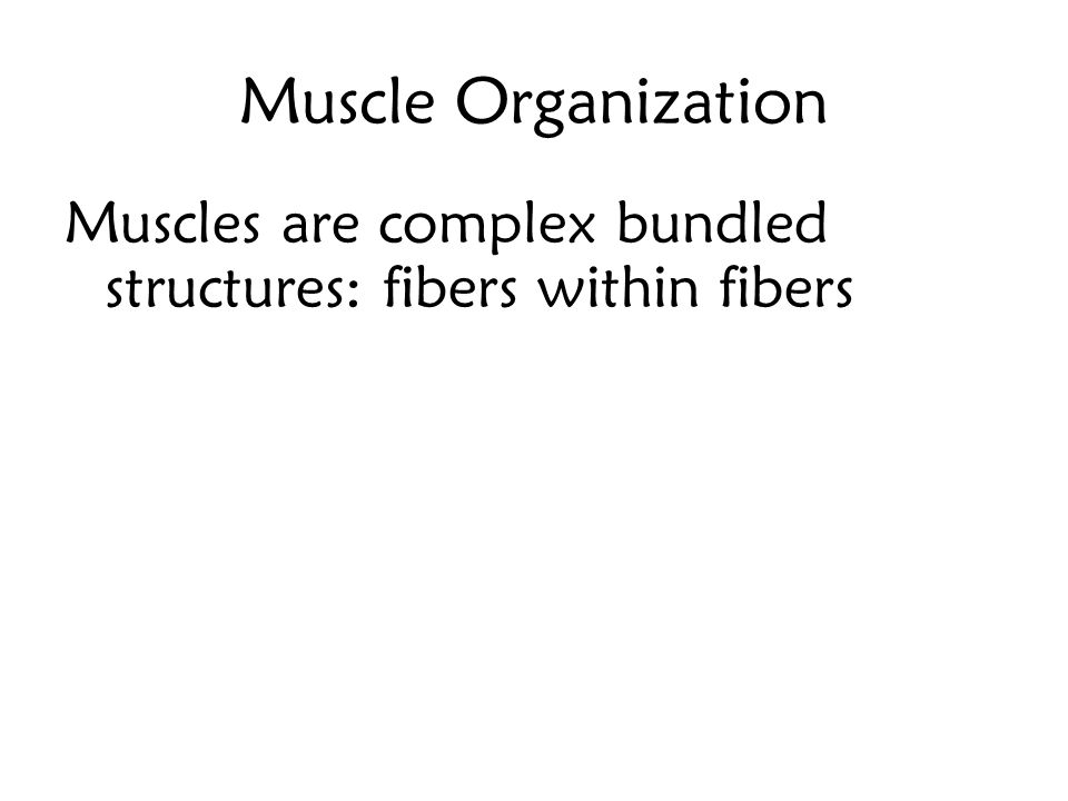 Muscle Organization Muscles are complex bundled structures: fibers within fibers