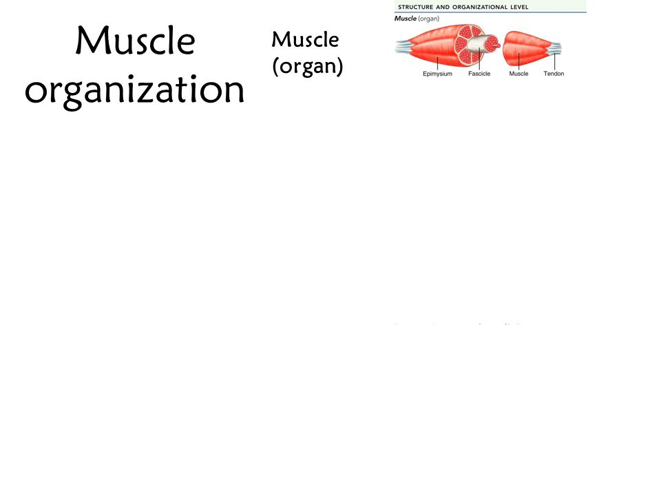 Muscle organization Muscle (organ) Fascicle Muscle fiber (cell)