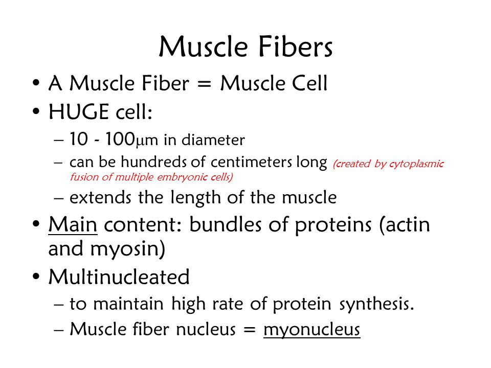 Muscle Fibers A Muscle Fiber = Muscle Cell HUGE cell: