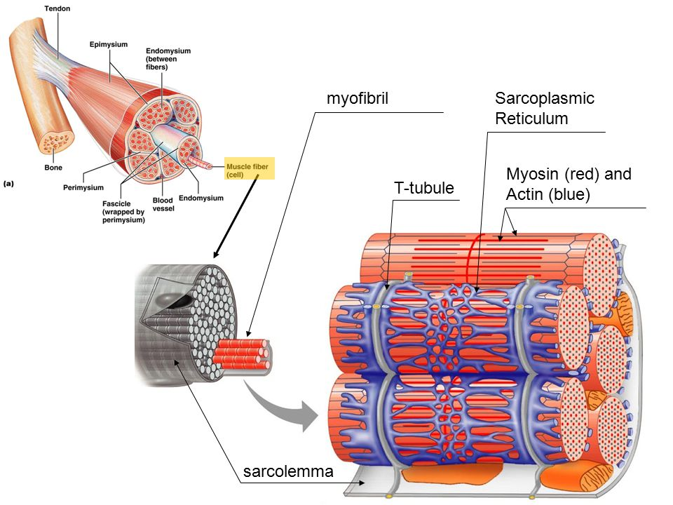 myofibril Sarcoplasmic Reticulum Myosin (red) and Actin (blue) T-tubule sarcolemma