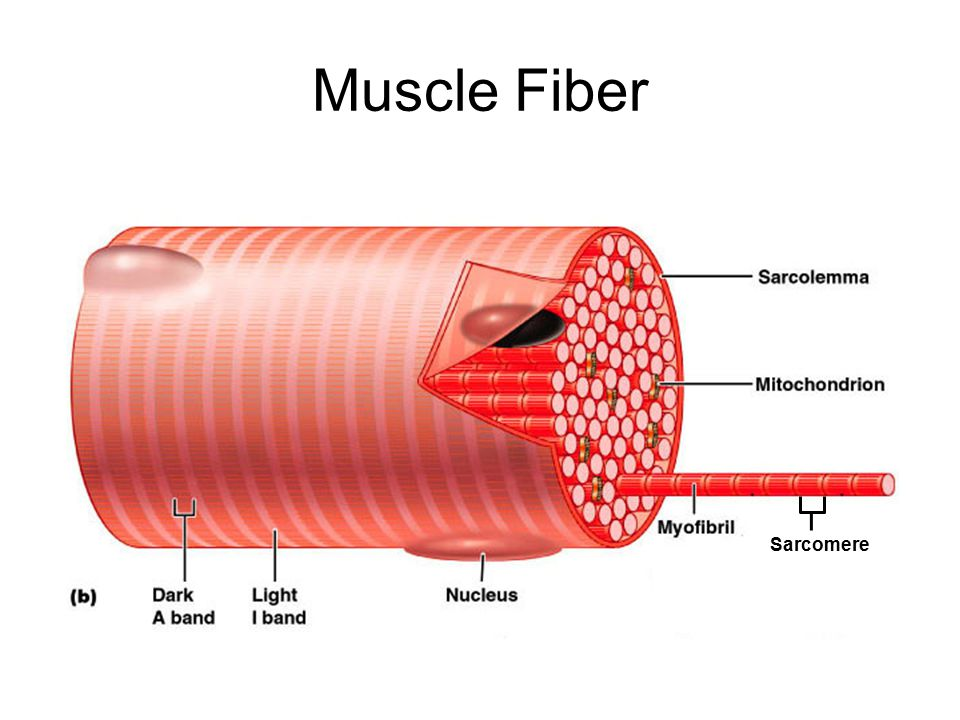 Muscle Fiber Sarcomere