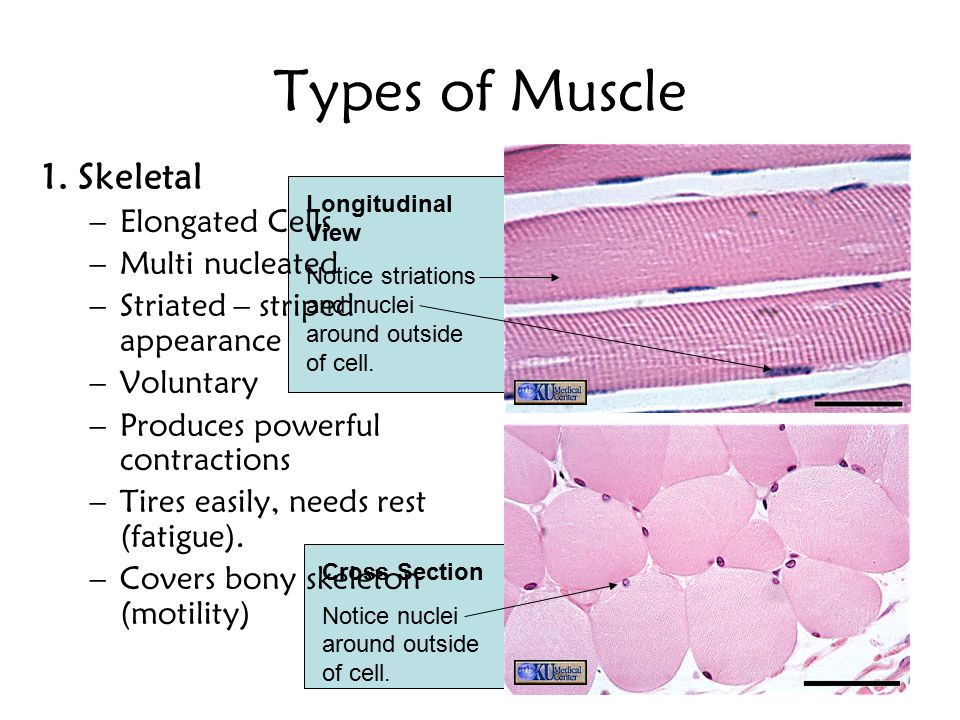 Types of Muscle 1. Skeletal Elongated Cells Multi nucleated