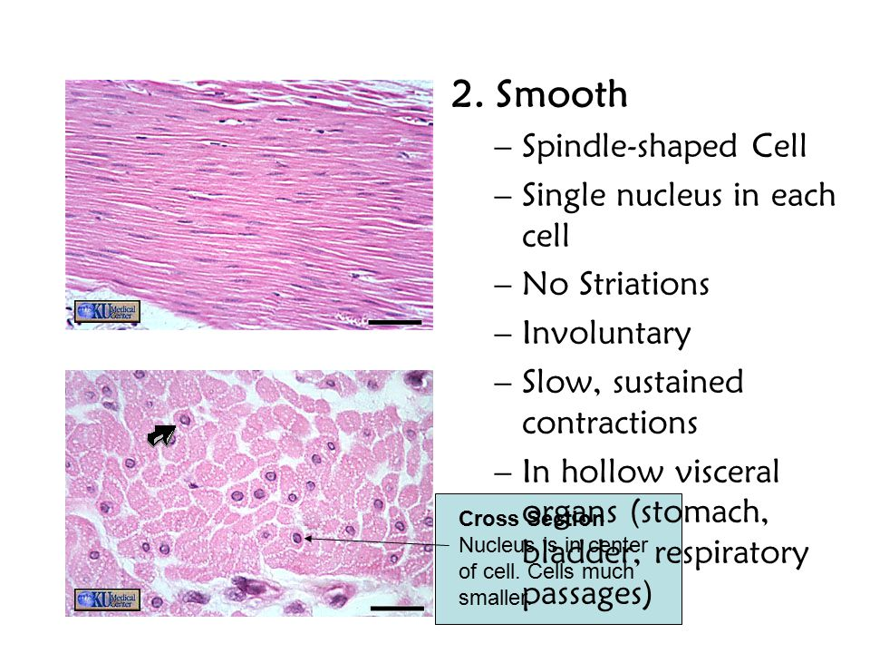 2. Smooth Spindle-shaped Cell Single nucleus in each cell