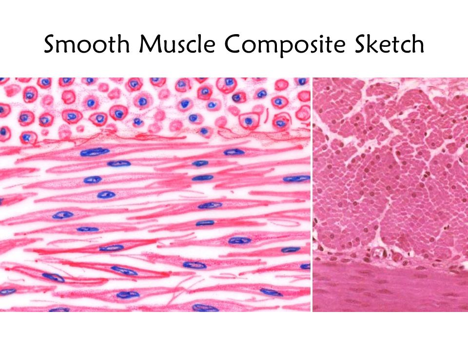 Smooth Muscle Composite Sketch