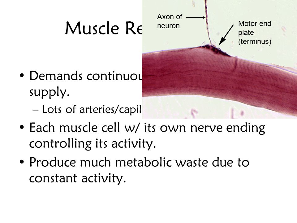 Muscle Requirements Demands continuous oxygen/nutrient supply.