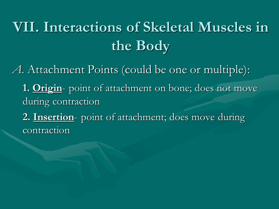 VII. Interactions of Skeletal Muscles in the Body