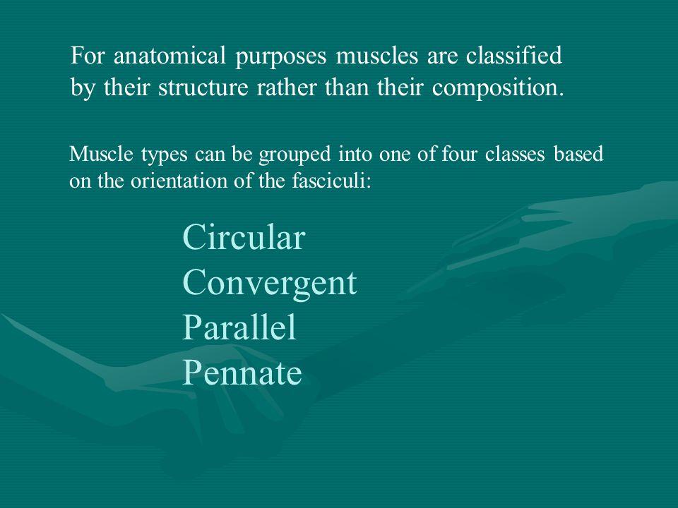 Circular Convergent Parallel Pennate