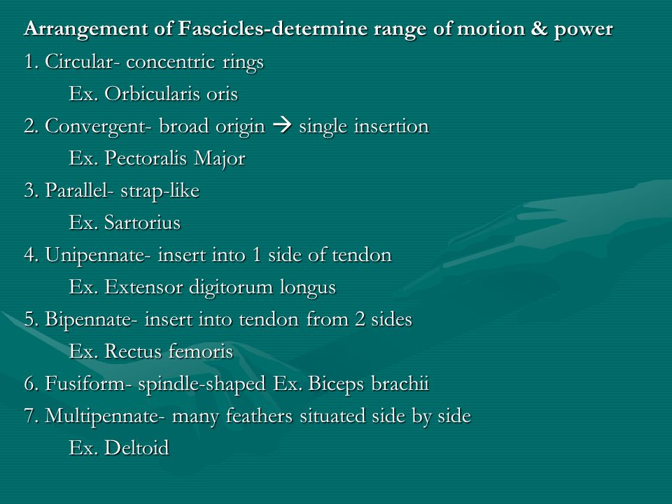 Arrangement of Fascicles-determine range of motion & power 1
