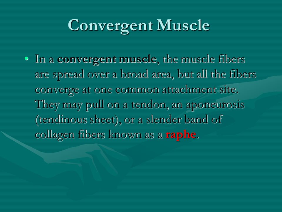 Convergent Muscle
