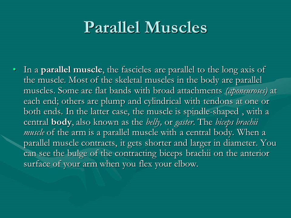 Parallel Muscles