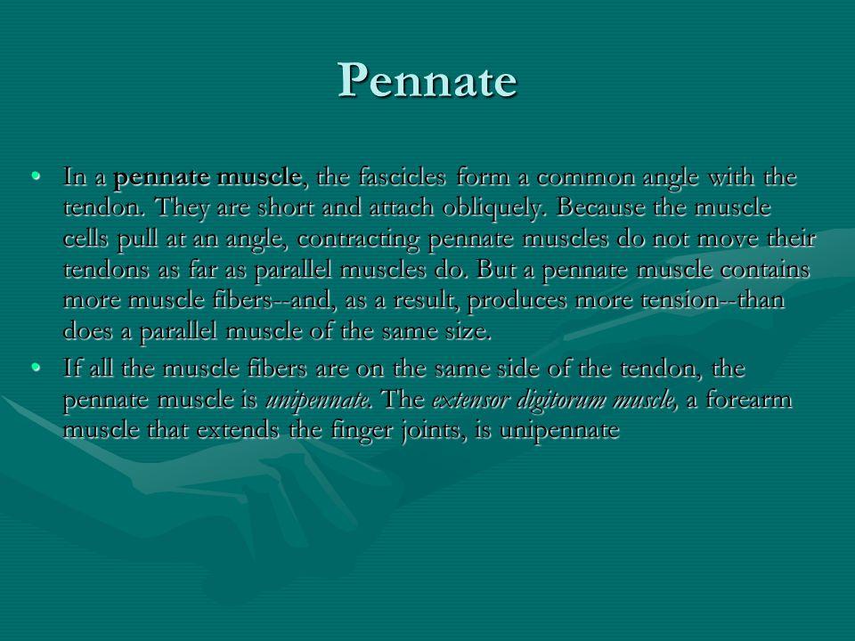 Pennate