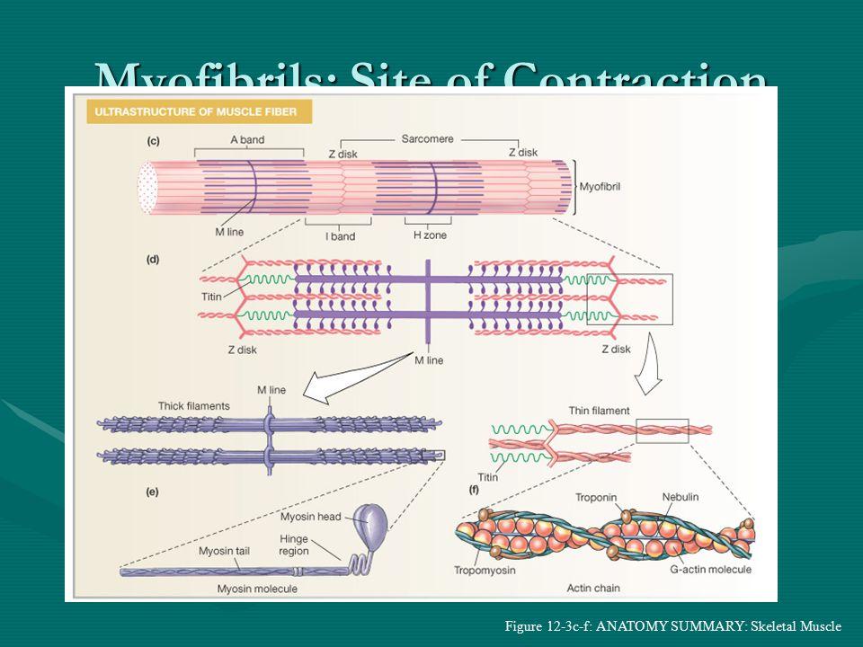 Myofibrils: Site of Contraction