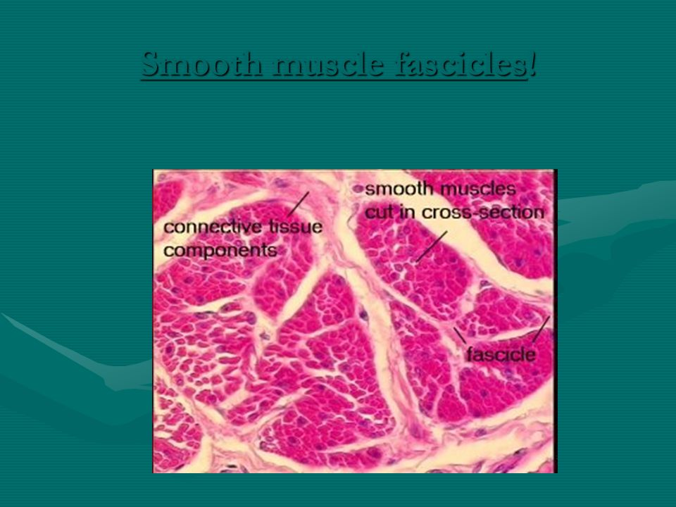 Smooth muscle fascicles!