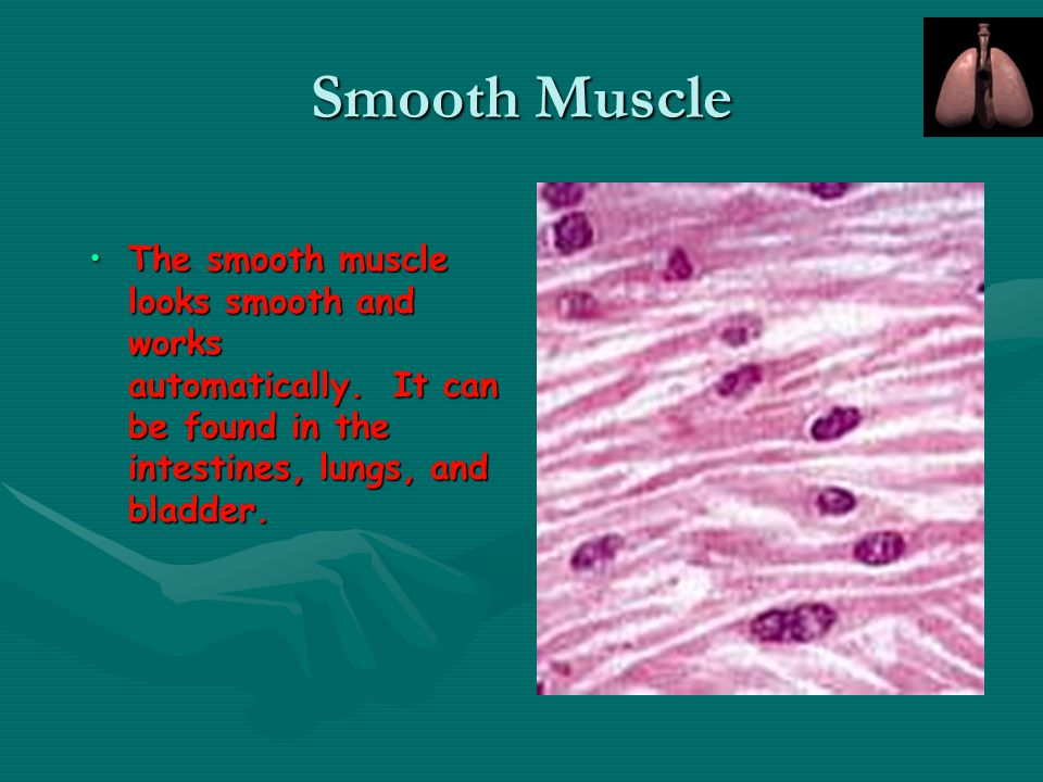 Smooth Muscle The smooth muscle looks smooth and works automatically. It can be found in the intestines, lungs, and bladder.