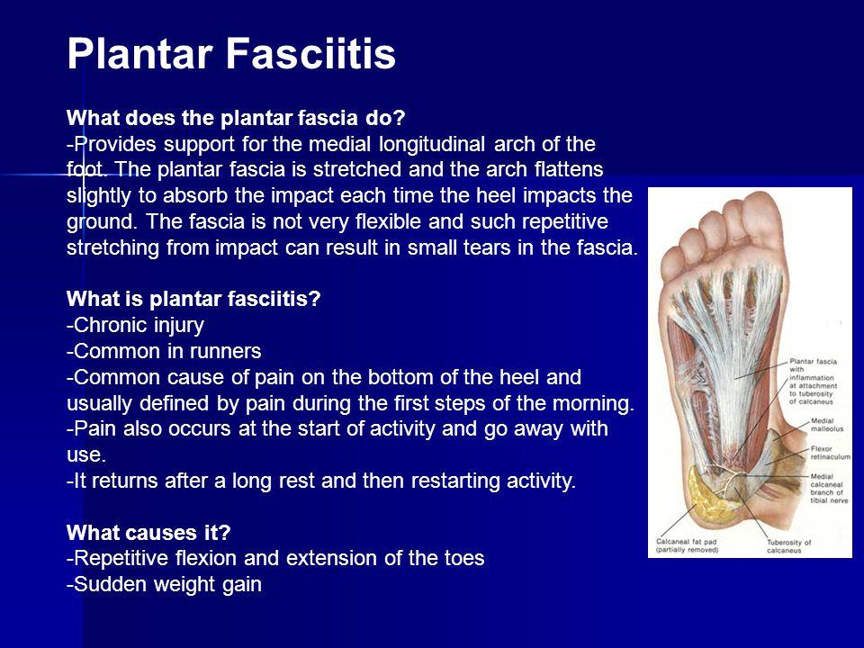 Plantar Fasciitis What does the plantar fascia do