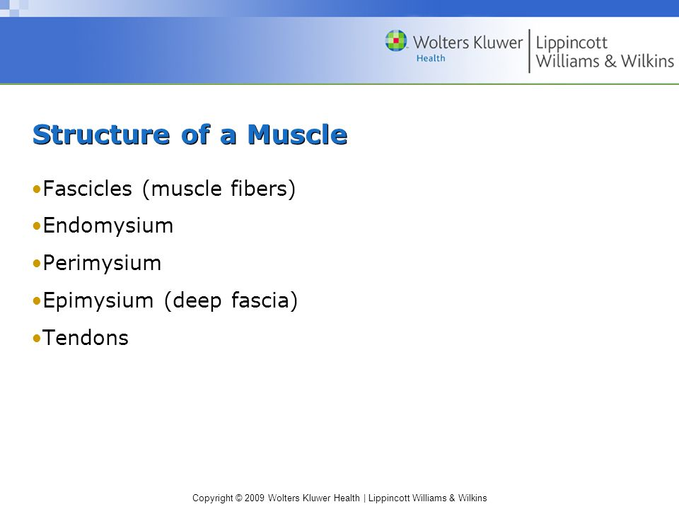 Structure of a Muscle Fascicles (muscle fibers) Endomysium Perimysium