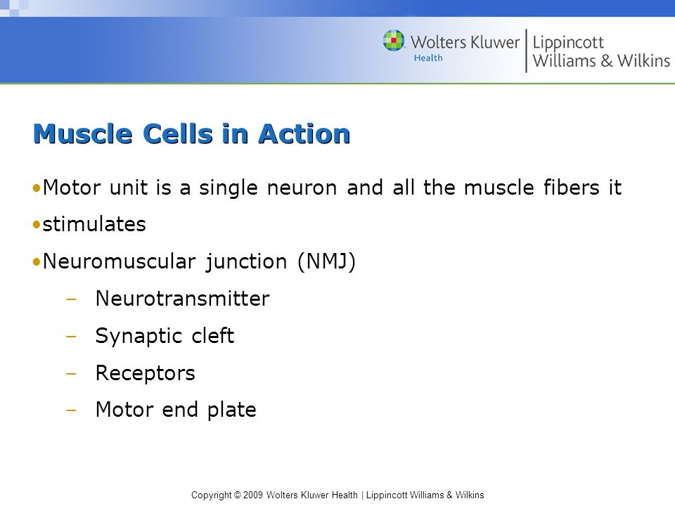 Muscle Cells in Action Motor unit is a single neuron and all the muscle fibers it. stimulates. Neuromuscular junction (NMJ)