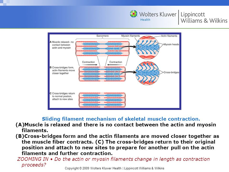 Sliding filament mechanism of skeletal muscle contraction.