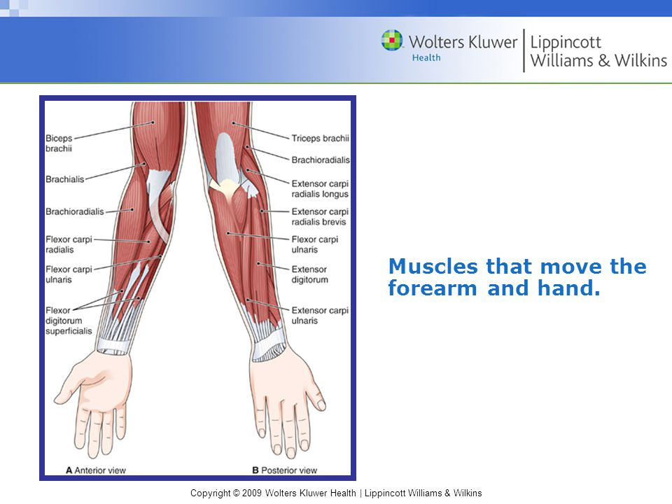 Muscles that move the forearm and hand.