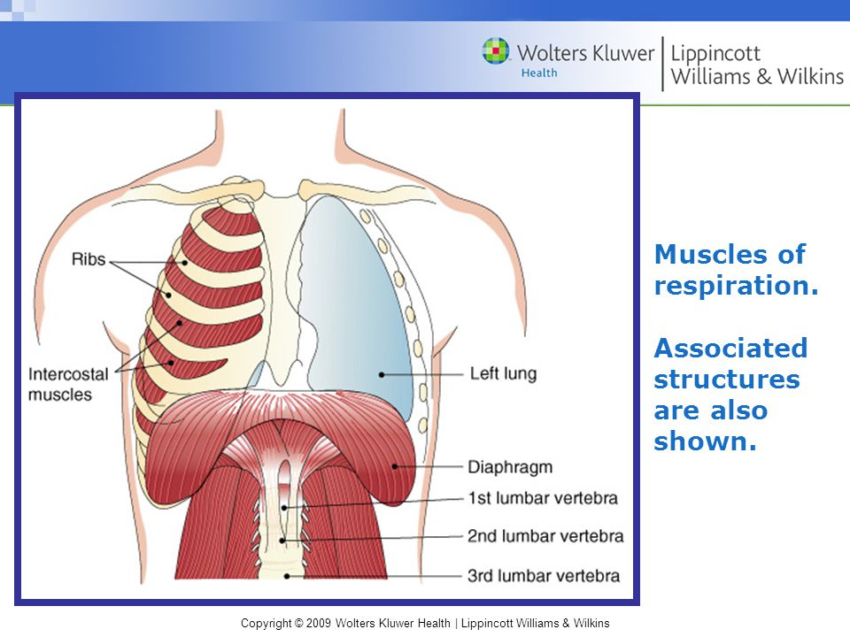 Muscles of respiration.
