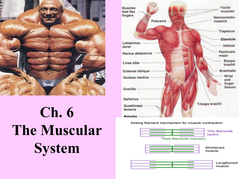 Ch. 6 The Muscular System