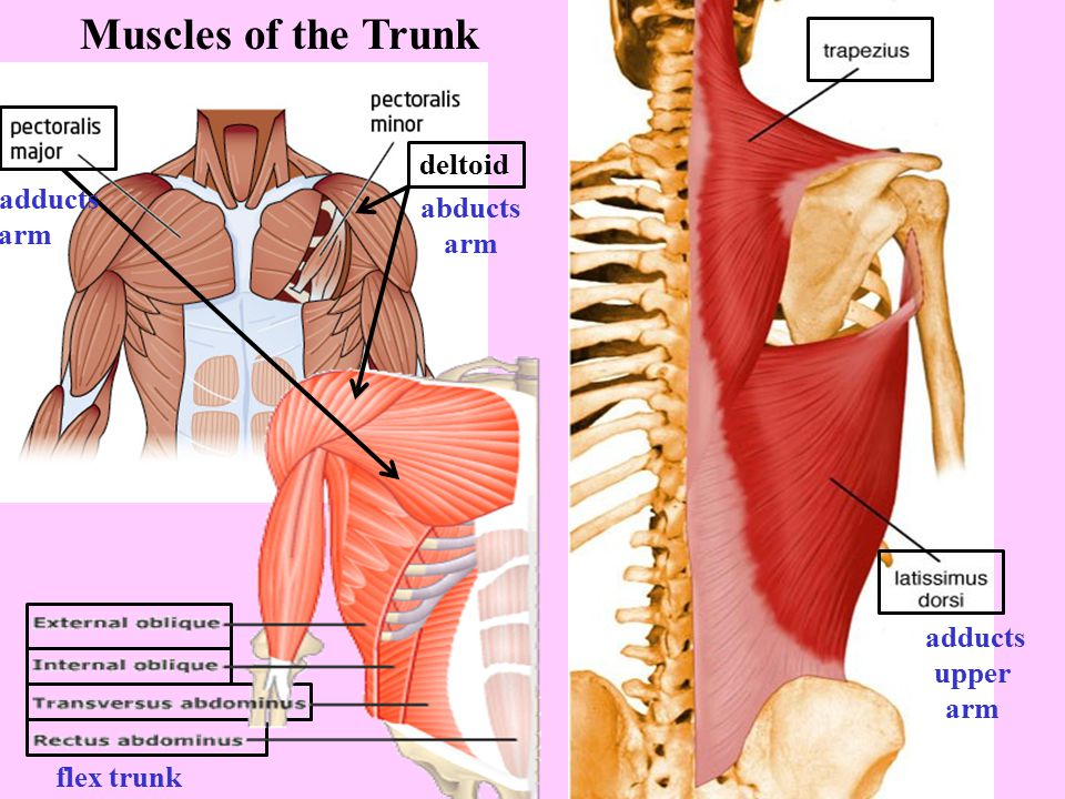 Muscles of the Trunk deltoid adducts abducts arm arm adducts upper arm